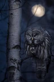 Vítěz v kategorii Zvířata v jejich přirozeném životním prostředí: Jonas Classon - Noční lovec.