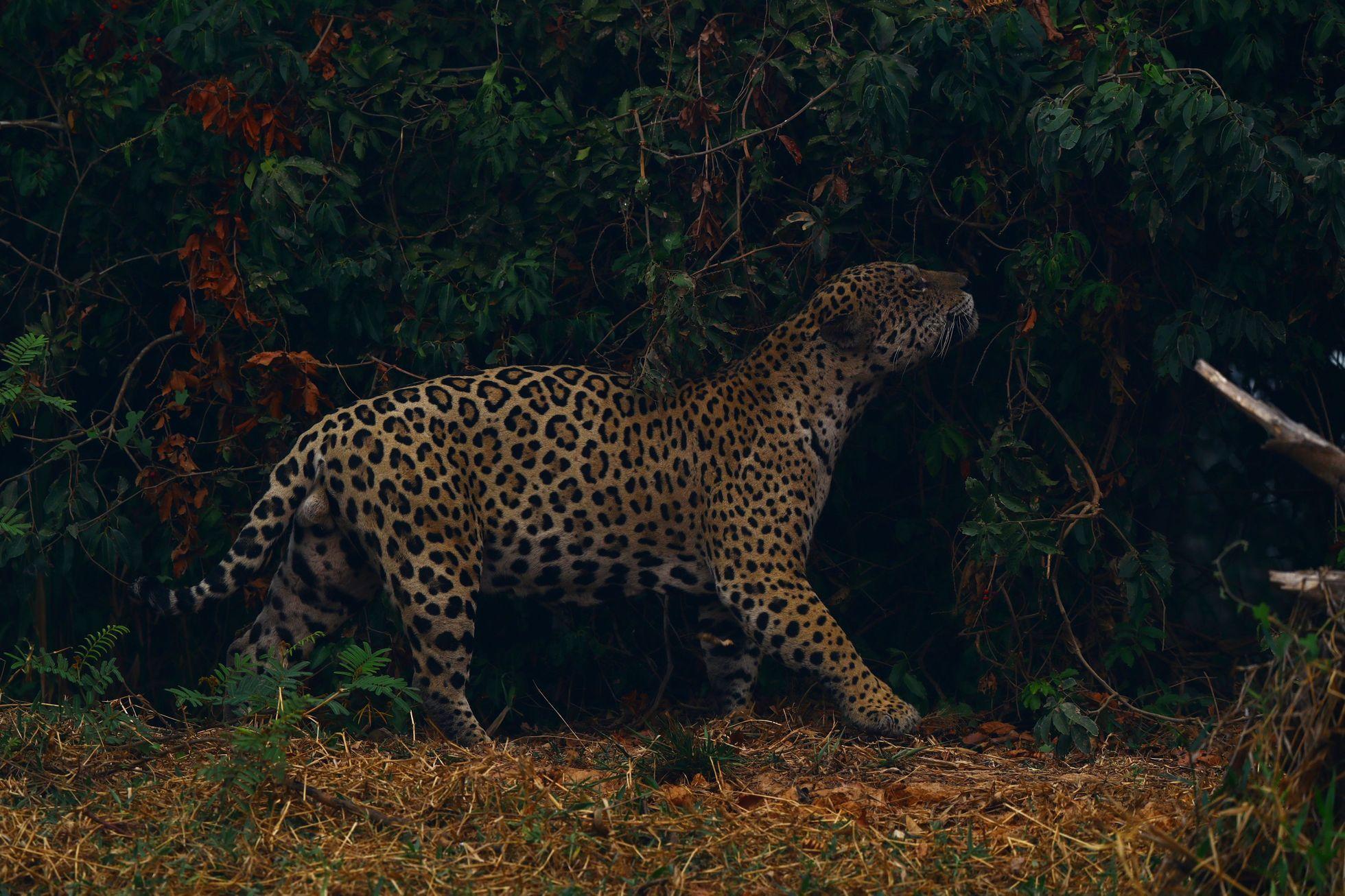 Žije tu jedna z nejpočetnějších populací jaguárů amerických. Zvířata ale kvůli požárům trpí dýchacími problémy, hladem a vysokými teplotami.