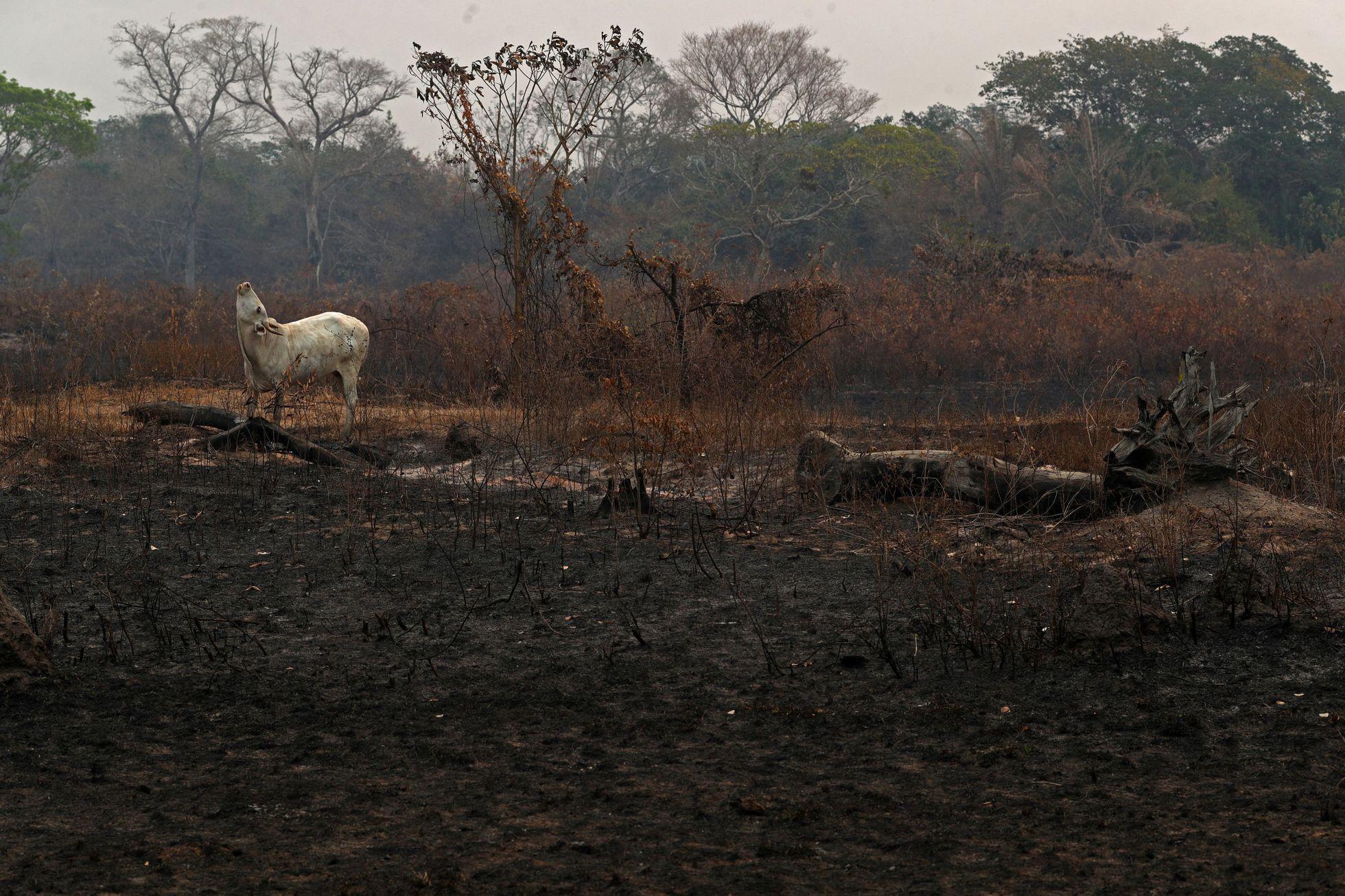 Požáry ohrožují i dobytek, který tu chovají místní farmáři.