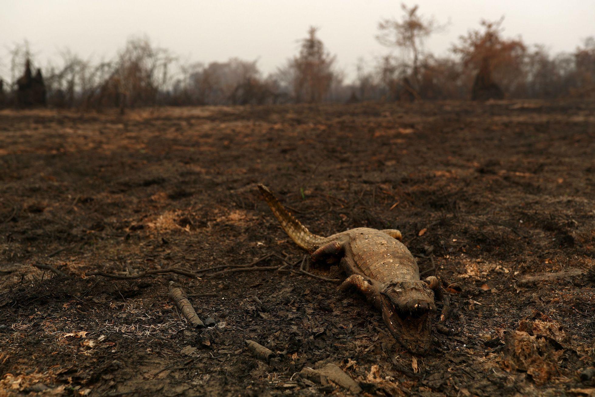 Ohořelá torza kajmanů našel tým brazilských veterinářů a biologů, kteří na konci srpna přijeli do oblasti Pantanalu. Krajinu i zvířata spálily požáry.